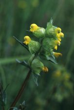 Rhinanthus minor, Koedange, 06.06.1998 © Charles Reckinger