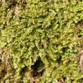 Mooskurs 2018-19_Diplophyllum albicans_1_JMM