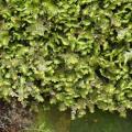 Mooskurs 2018-19_Diplophyllum albicans_JMM