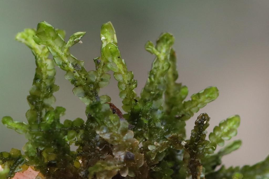 Mooskurs 2018-19_Porella platyphylla_JMM