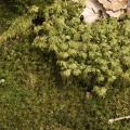 Mooskurs 2018-19_Dicranum scoparium u. Hylocomium splendens_JMM
