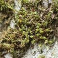 Mooskurs 2018-19_Hedwigia ciliata_JMM