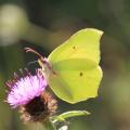 Gonepteryx rhamni_M. Hellers