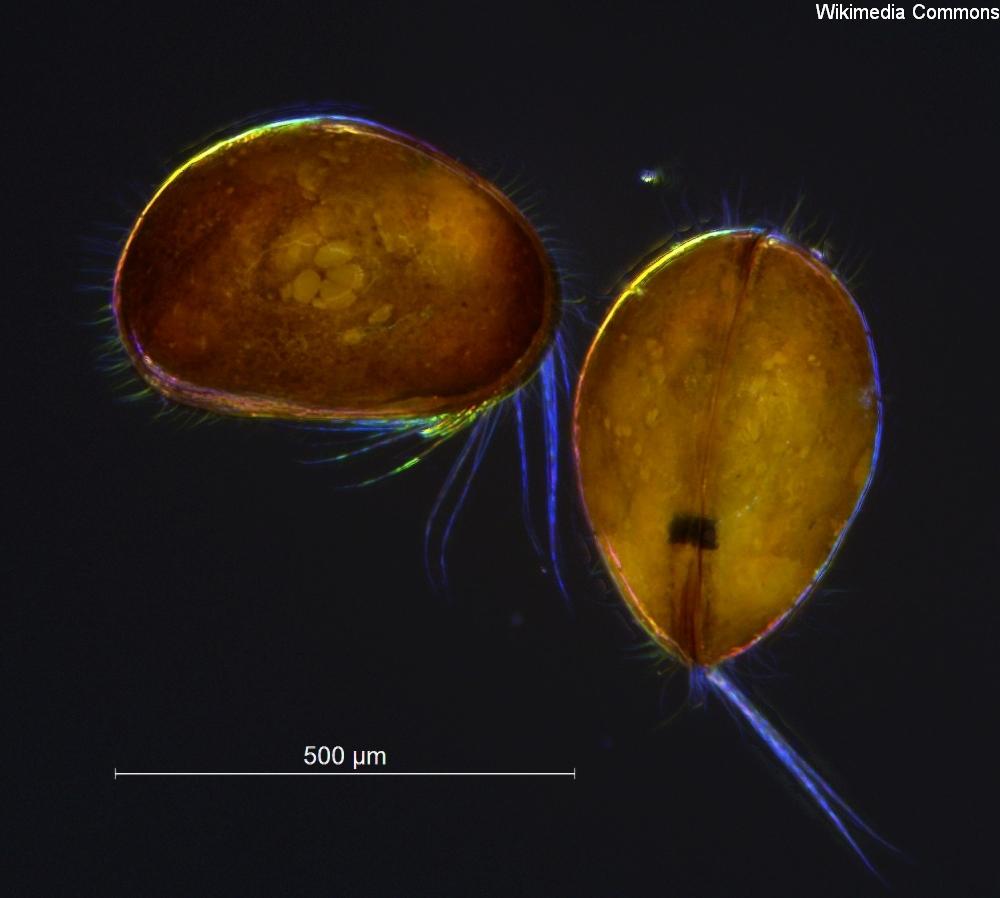 Cyclocypris ovum. Foto: Wikimedia Commons