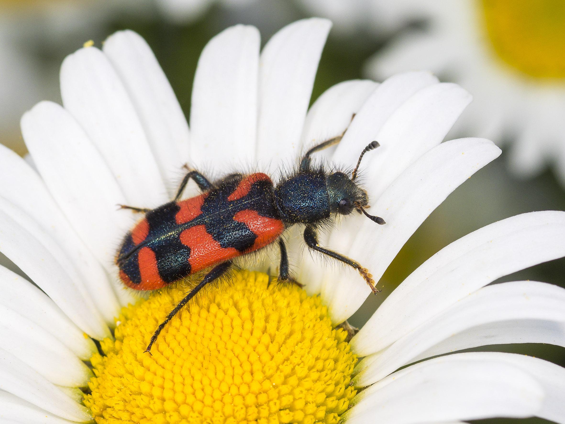 Gemeiner Bienenwolf auf Magerwiesen-Magerite (Trichodes apiarius auf Leucanthemum vulgare). Foto: R. Günter.