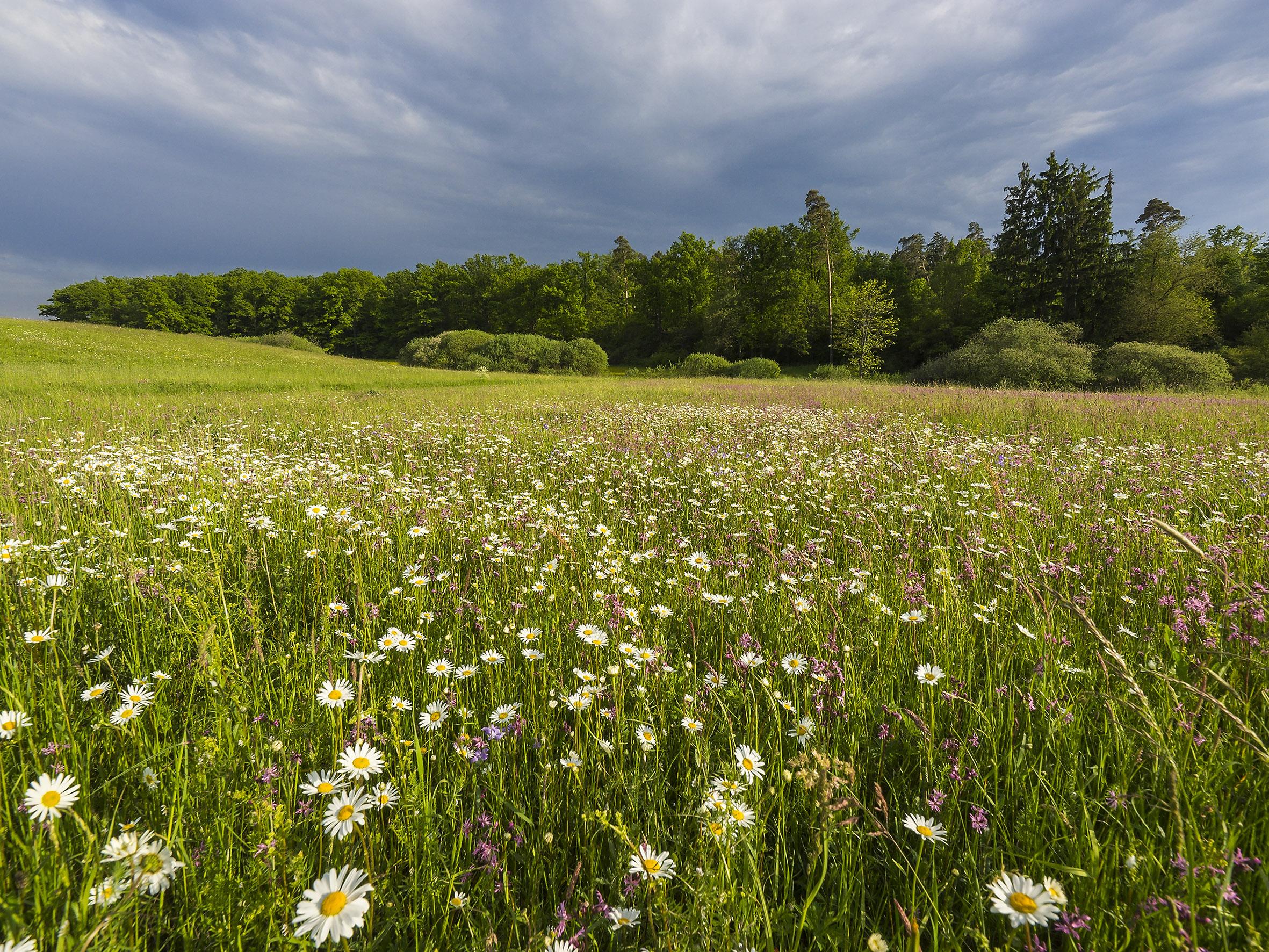 Magere Flachlandmähwiese am Steigerwald-Trauf südwestlich von Würzburg. Foto: R. Günter.