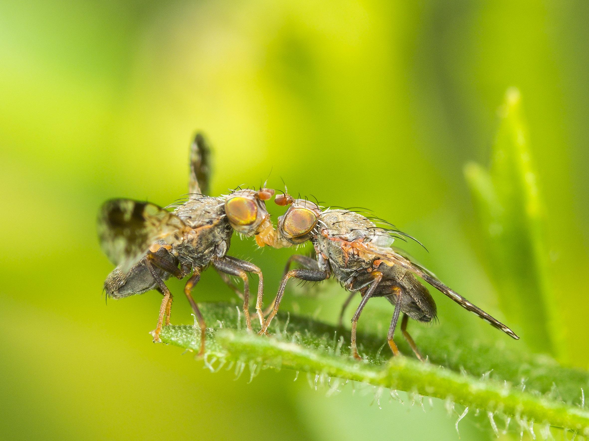 Zwei Männchen der Margeriten-Bohrfliege (Tephritis neesii) beim Balztanz auf Magerwiesen-Margeritenblatt (Leucanthemum vulgare). Foto: R. Günter.