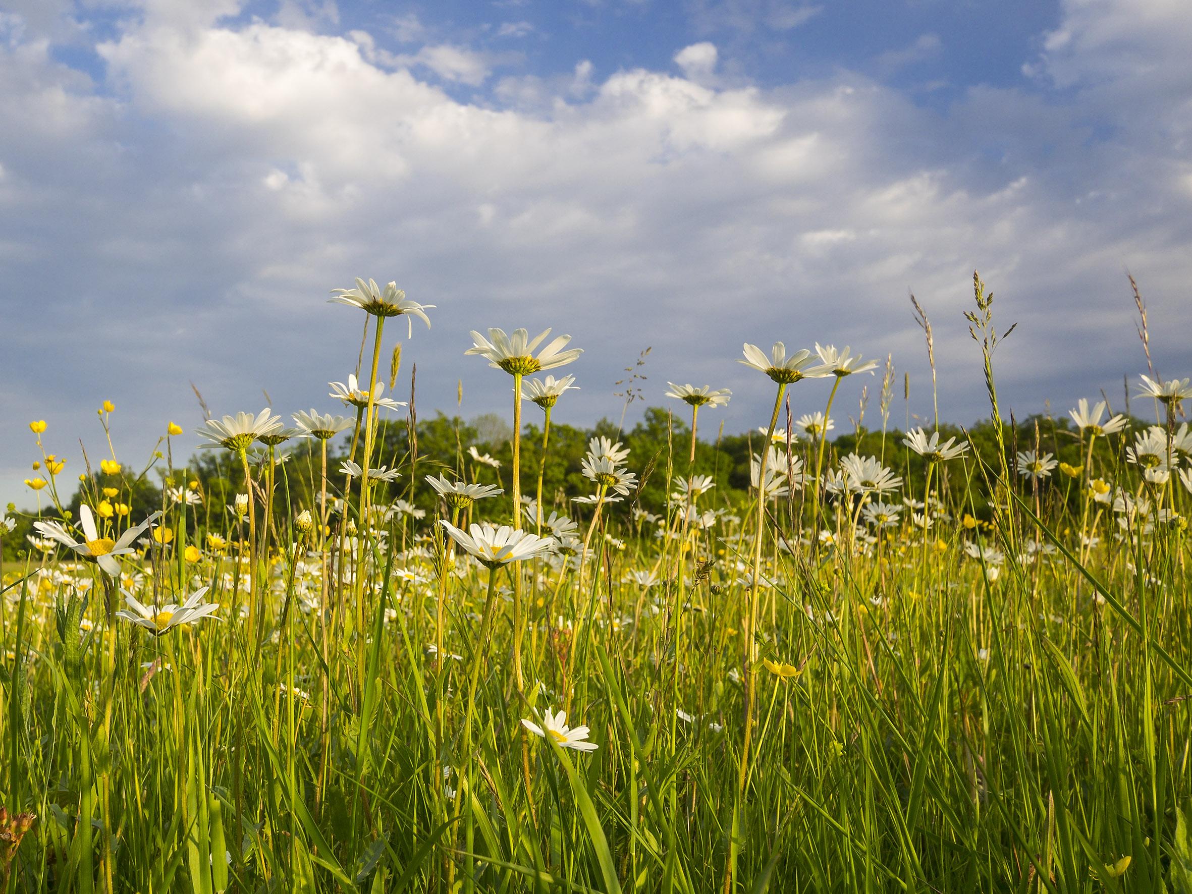 Magere Flachlandmähwiese - Aspekt mit Magerwiesen-Magerite, am Steigerwald-Trauf südwestlich von Würzburg. Foto: R. Günter.