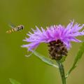Schwebfliege im Anflug auf Flockenblumen-Blüte (Centaurea sp.). Foto: R. Günter.