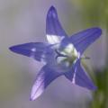 Glockenblume (Campanula sp.). Foto: R. Günter.