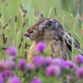Feldhase (Lepus europaeus). Foto: R. Günter.