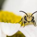 Seidenbienen-Männchen auf der Blüte einer Magerwiesen-Margerite (Colletes similis auf Leucanthemum vulgare). Foto: R. Günter.