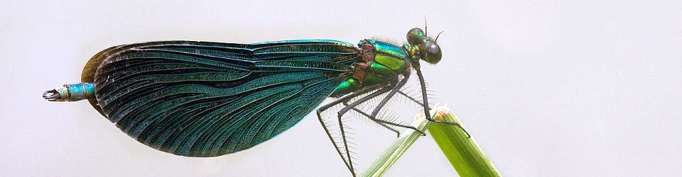 The Beautiful Demoiselle (Calopteryx virgo, Calopterygidae). Baierbrunn, Munich, Germany. Author: Richard Bartz. 24.03.2009. Source: Wikimedia Commons. CC-BY-SA-2.5.